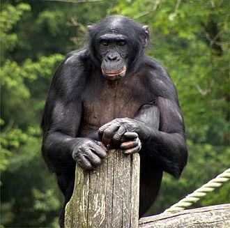 330px-Apeldoorn_Apenheul_zoo_Bonobo
